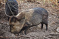 Collared peccary - melbourne zoo.jpg