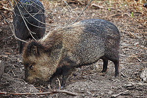 Image:Collared peccary - melbourne zoo.jpg