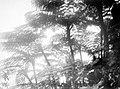 Collectie Nationaal Museum van Wereldculturen TM-10021330 De toppen van boomvarens waarvan de bladeren zich uitwaaieren gelijk als die van de plant Saba -Nederlandse Antillen fotograaf niet bekend.jpg