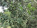 Colletia paradoxa 1.JPG