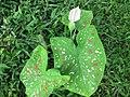 Colocasia - ചേമ്പ് 02.jpg