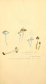 Coloured Figures of English Fungi or Mushrooms - t. 124.png