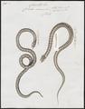 Coluber canus - 1700-1880 - Print - Iconographia Zoologica - Special Collections University of Amsterdam - UBA01 IZ12100295.tif