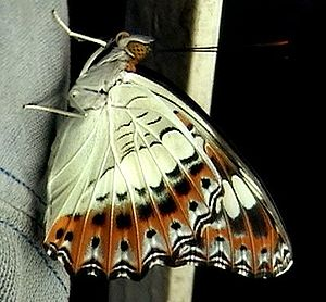 Moduza procris - The beautiful underside markings