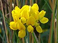 Commom Bird's-foot-trefoil (Lotus corniculatus) flowers (side view) (3957948733).jpg