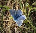 Common Blue male. Common Blue Polyommatus icarus (45874294254).jpg