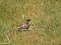Common Cuckoo (Cuculus canorus) (33185841825).jpg