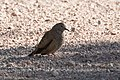 Common Ground-Dove Leslie Canyon NWR Douglas AZ 2017-10-15 09-31-49 (37709651702).jpg