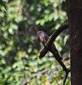 Common Hawk Cuckoo (On Bangladesh).jpg