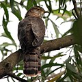 Common Hawk Cuckoo I Picture 154.jpg