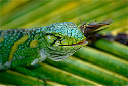 Common Monkey Lizard (Polychrus marmoratus) eating a grasshopper (10348923756).jpg