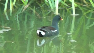 File:Common Moorhen (Gallinula chloropus).webm