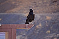 Common Raven at Ubehebe Crater.JPG