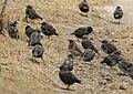 Common Starlings (Sturnus vulgaris) & Black-throated Thrush (Turdus atrogularis) (33000508222).jpg