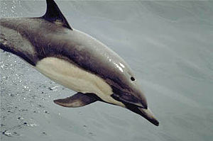 Short-beaked common dolphin - Short-beaked common dolphin porpoising