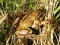 Common frogs (Rana temporaria) - geograph.org.uk - 1218705.jpg