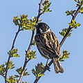 Common reed bunting (Emberiza schoeniclus) male breeding plumage 3.jpg