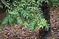 Conifer - The black kauri or blue kauri, - Agathis atropurpurea (16082593546).jpg