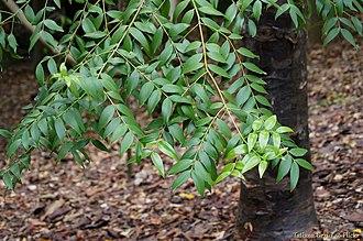 Agathis - Image: Conifer The black kauri or blue kauri, Agathis atropurpurea (16082593546)