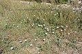 Convolvulus althaeoides-073.jpg