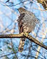Cooper's hawk in Prospect Park (22416).jpg