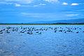 Coots on Lake Naivasha.jpg