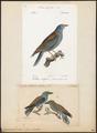 Coracias garrula - 1700-1880 - Print - Iconographia Zoologica - Special Collections University of Amsterdam - UBA01 IZ16700213.tif