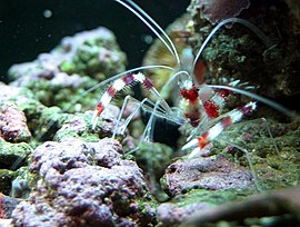 Coral banded shrimp - by BJ Beggerly.jpg