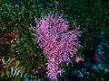 Coralline seaweed at 12 Mile Bank P4090181.jpg