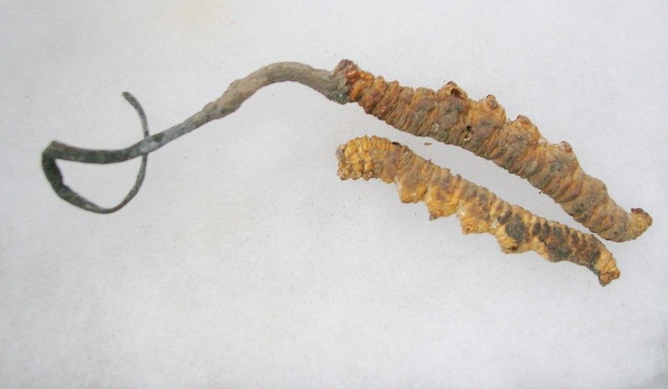 CordycepsSinensis