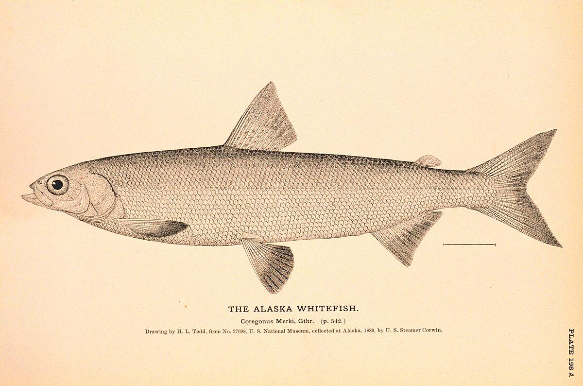 Alaska whitefish wikipedia for Alaska freshwater fish