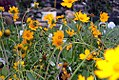 Coreopsis auriculata Nana 2zz.jpg