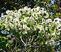 Cornus florida ssp urbiniana 1.jpg