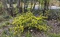 Coronilla glauca - Roquebrun 02.jpg