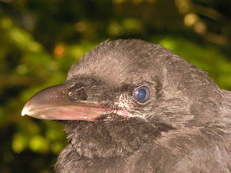 Resim:Corvus corone young&gentle2.jpg