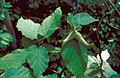 Corylus cornuta foliage.jpg