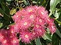 Corymbia ptychocarpa inflorescence.JPG