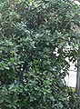 Corynocarpus laevigatus2.jpg