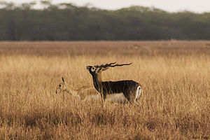 Courtship display - Male blackbuck, Antilope cervicapra, courting a female