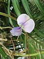 Cowpea (Vigna unguiculata) blossom.jpg