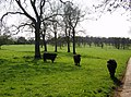 Cows in Chastleton estate - geograph.org.uk - 450997.jpg