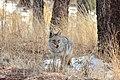 Coyote (24583210950).jpg