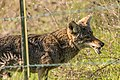 Coyote Munching on Rodent (40217176721).jpg