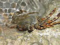 Crab (3767554919).jpg