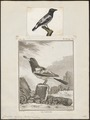 Cracticus cassicus - 1700-1880 - Print - Iconographia Zoologica - Special Collections University of Amsterdam - UBA01 IZ16600311.tif