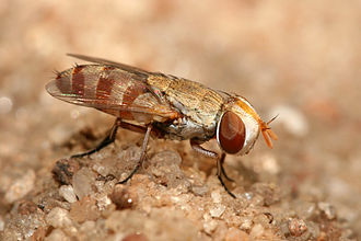 Kleptoparasitism - Miltogrammine fly (Craticulina seriata) is a kleptoparasite of sand wasps, depositing its larvae on the food reserved for the larvae of the wasp