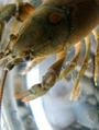 Crayfish portrait 3 (5987991134).png