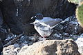 Creagrus furcatus -Galapagos Islands, Ecuador -adult and chick-8.jpg