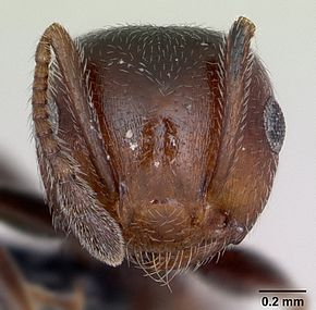 Description de l'image Crematogaster scutellaris casent0173120 head 1.jpg.