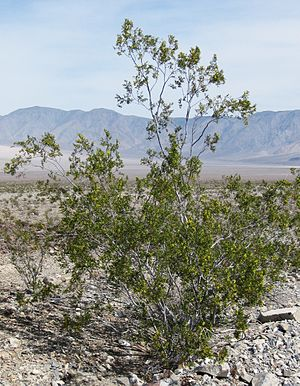 Larrea tridentata - Large creosote bush, Death Valley